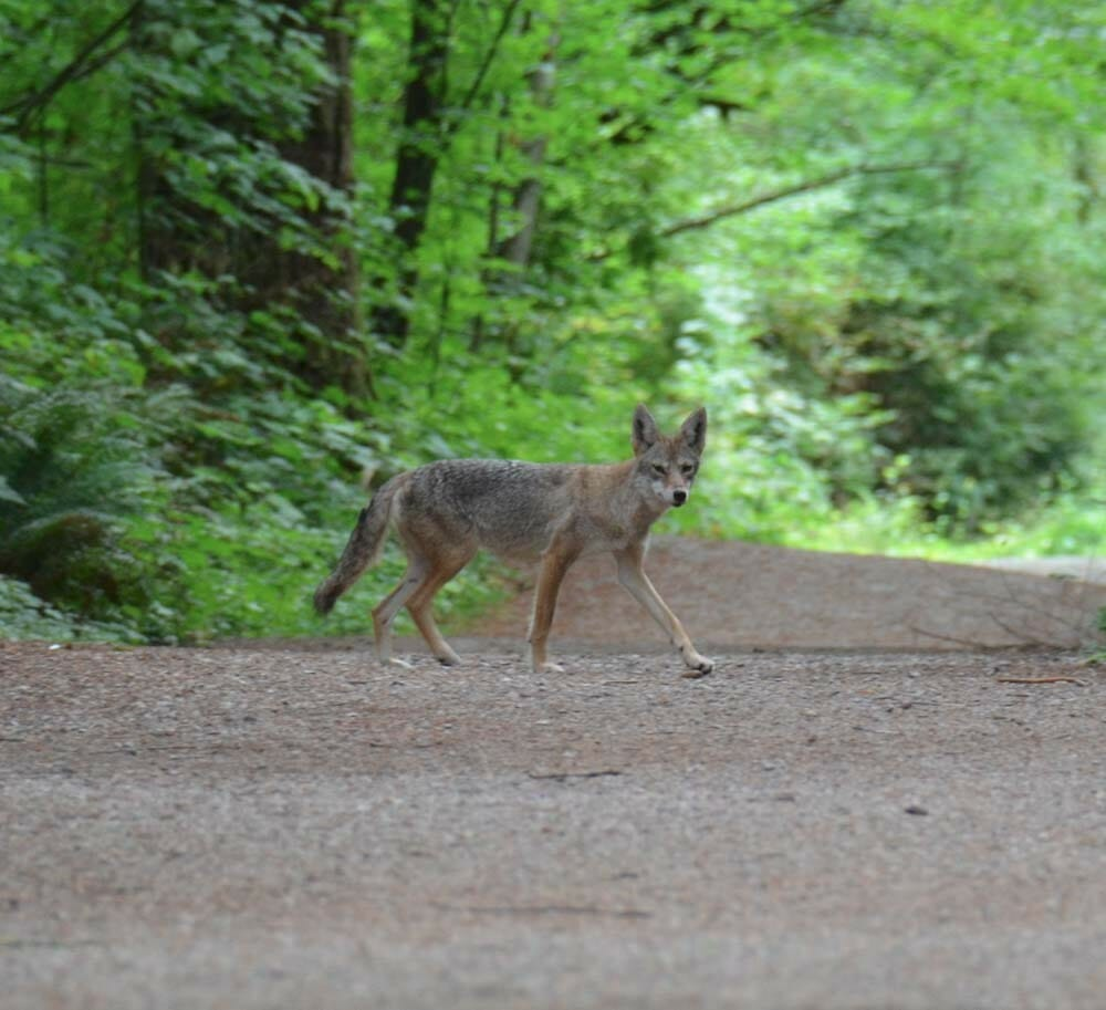 Coyote in Green Timbers